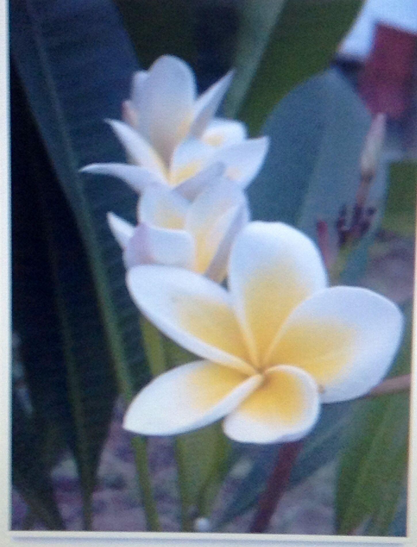 Nicaraguas national flower nicaragua nicoyan pride pinterest nicaraguas national flower izmirmasajfo