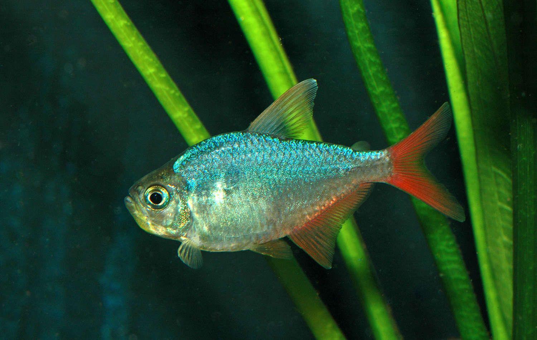 Freshwater aquarium fish with red eyes - Fish Fine Photo
