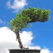 Pre-Bonsai Miniature Garden Shimpaku Chinese Juniper - Juniperus chinensis 'Shimpaku'