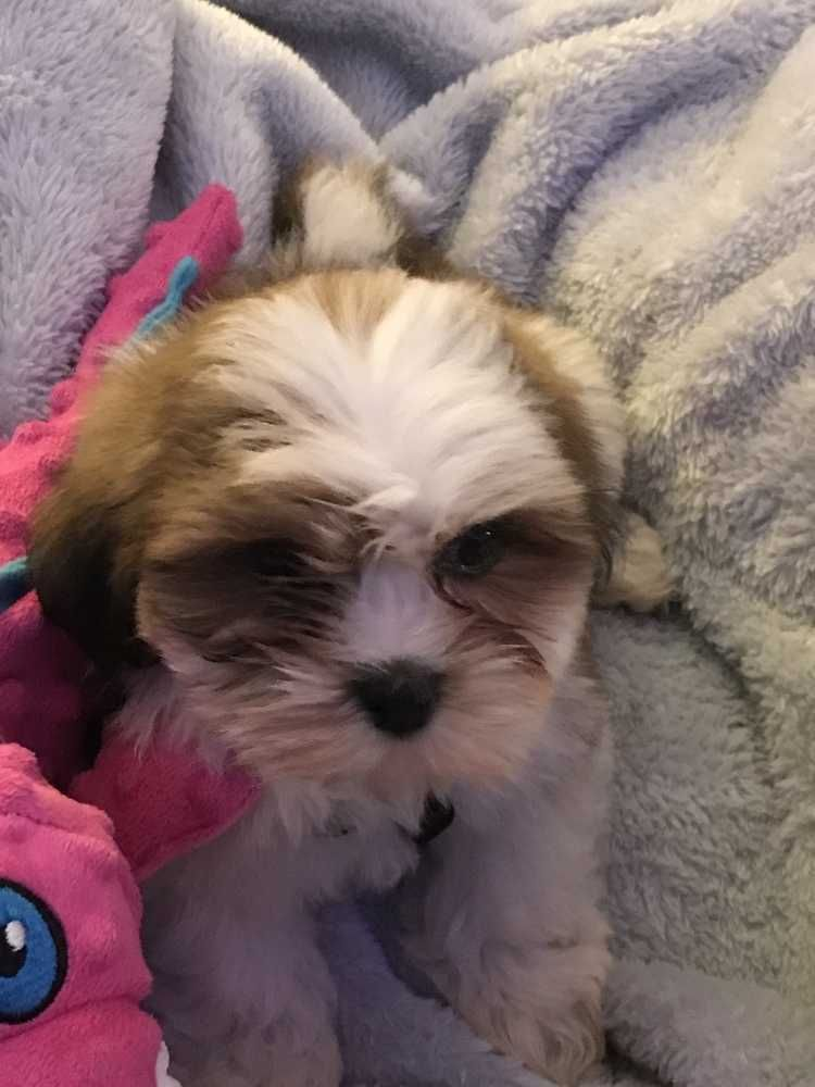 Lhasa Apso Winston Adoption Pending 11 26 Is An Adoptable Lhasa