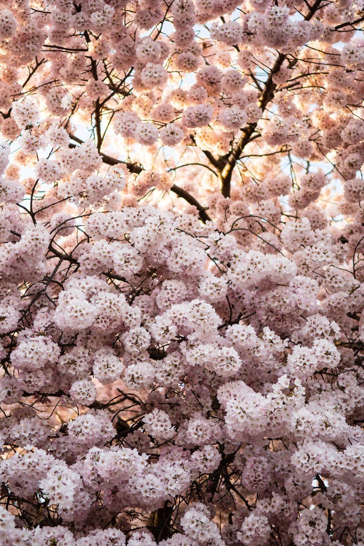 The 2021 Guide To Washington Dc Cherry Blossom Peak Bloom Pictures Of Washington Dc Cherry Blossom Dc Cherry Blossom Festival