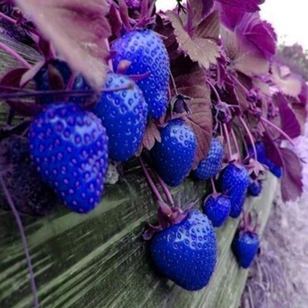 500Pcs Blue Strawberry Rare Fruit Vegetable Seeds Bonsai 640 x 480