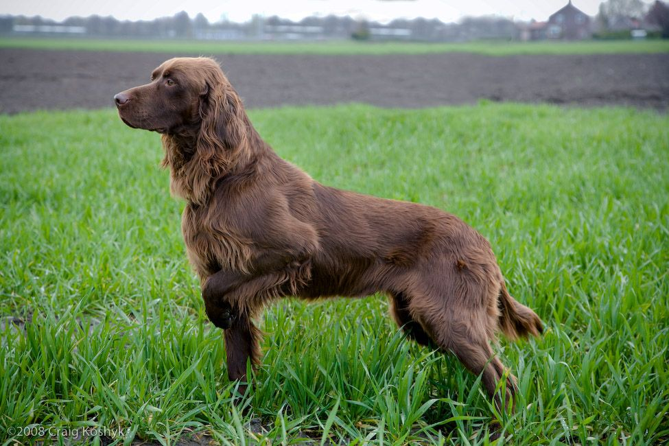 GERMAN LONGHAIRED POINTER | Dog Breeds alphabetical | German