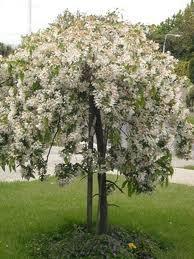 Malus Sun Rival Ornamental Trees Crabapple Tree Flowering Trees