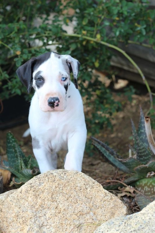 Celestial Great Danes Great Dane Great Dane Puppy Dane