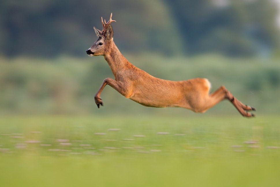 Long jump - Roe deer buck / capreolus capreolus | Cervo, Cucciolo di cervo,  Animali