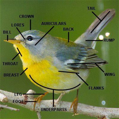 Learn Your Warbler Parts - Bird Anatomy   Backyard Birds   Pinterest ...