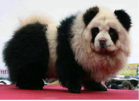 Oddly Colored Asian Animals Beyond The Rainbow Panda Dog Panda