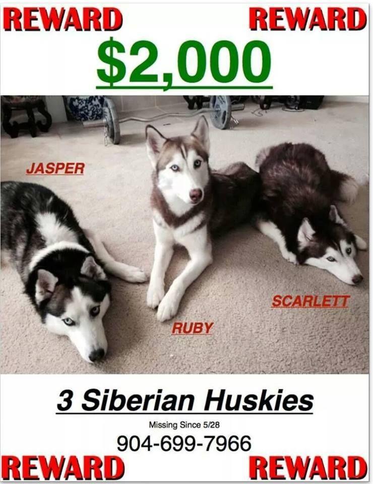 Three Lost Siberian Huskies From Orange Park Florida