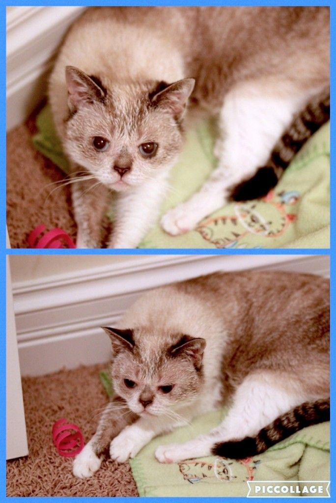 Available Cats Purebred Cats Feline Leukemia Cats