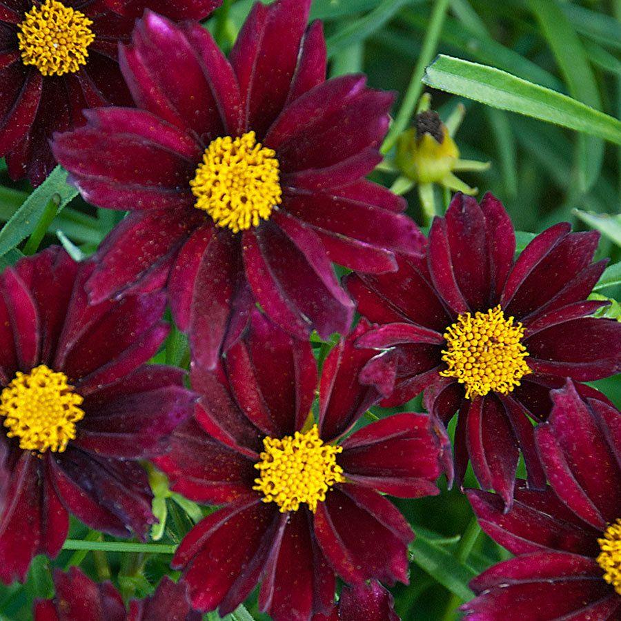 Coreopsis Big Bang Mercury Rising Plants Flower Seeds Perennials