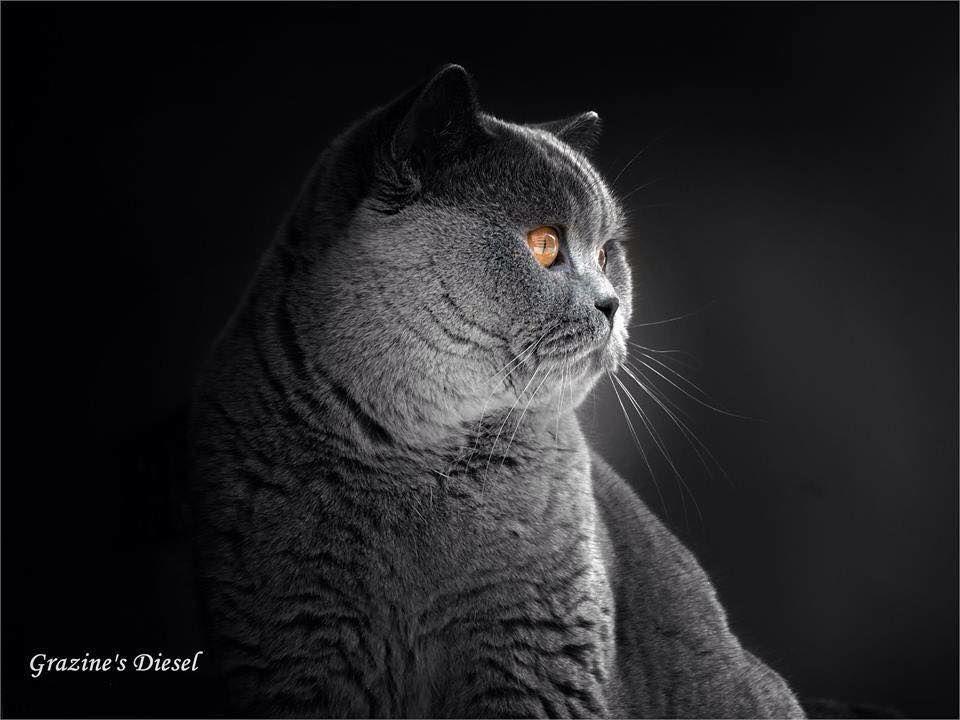 Pin Ot Polzovatelya Avrtatiana Na Doske British Cats Koshki I Britancy