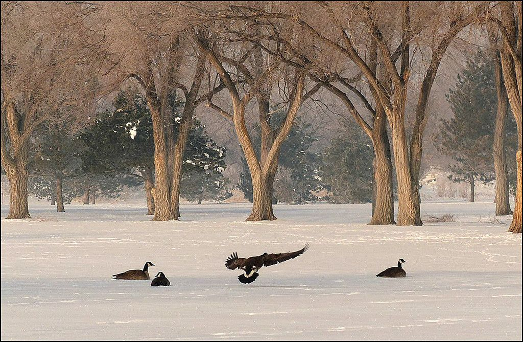 Canadian Honkers landing in a snow covered field with trees