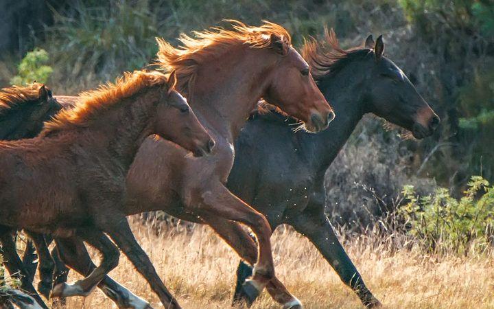 Homes needed for Kaimanawa horses in New Zealand!