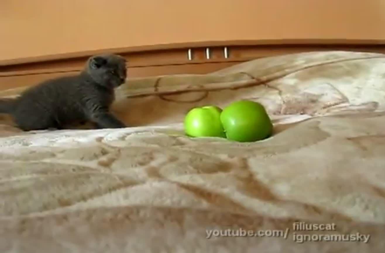 Kitten Vs Two Scary Things Video Funny Cat Videos Kittens Cutest Grey Kitten