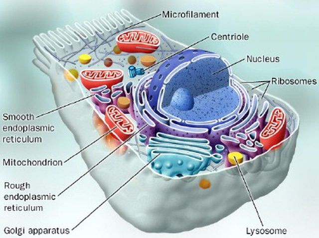Cell Model and Structure of the Endoplasmic Reticulum ...
