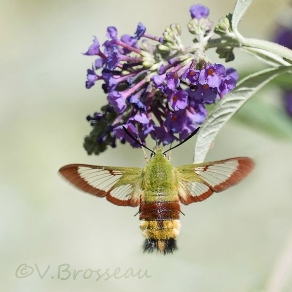 Le sphinx gazé aux ailes partiellement transparentes. C'est une espèce potentiellement menacée.