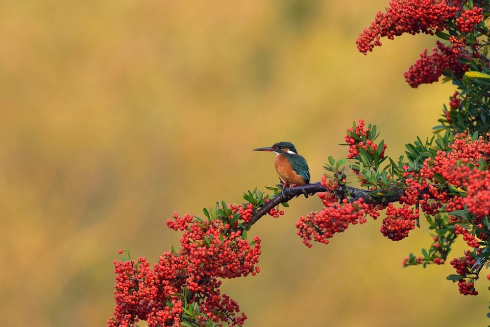 Kingfisher in Autumn Tint and Sunrise Gold by Mubi.A