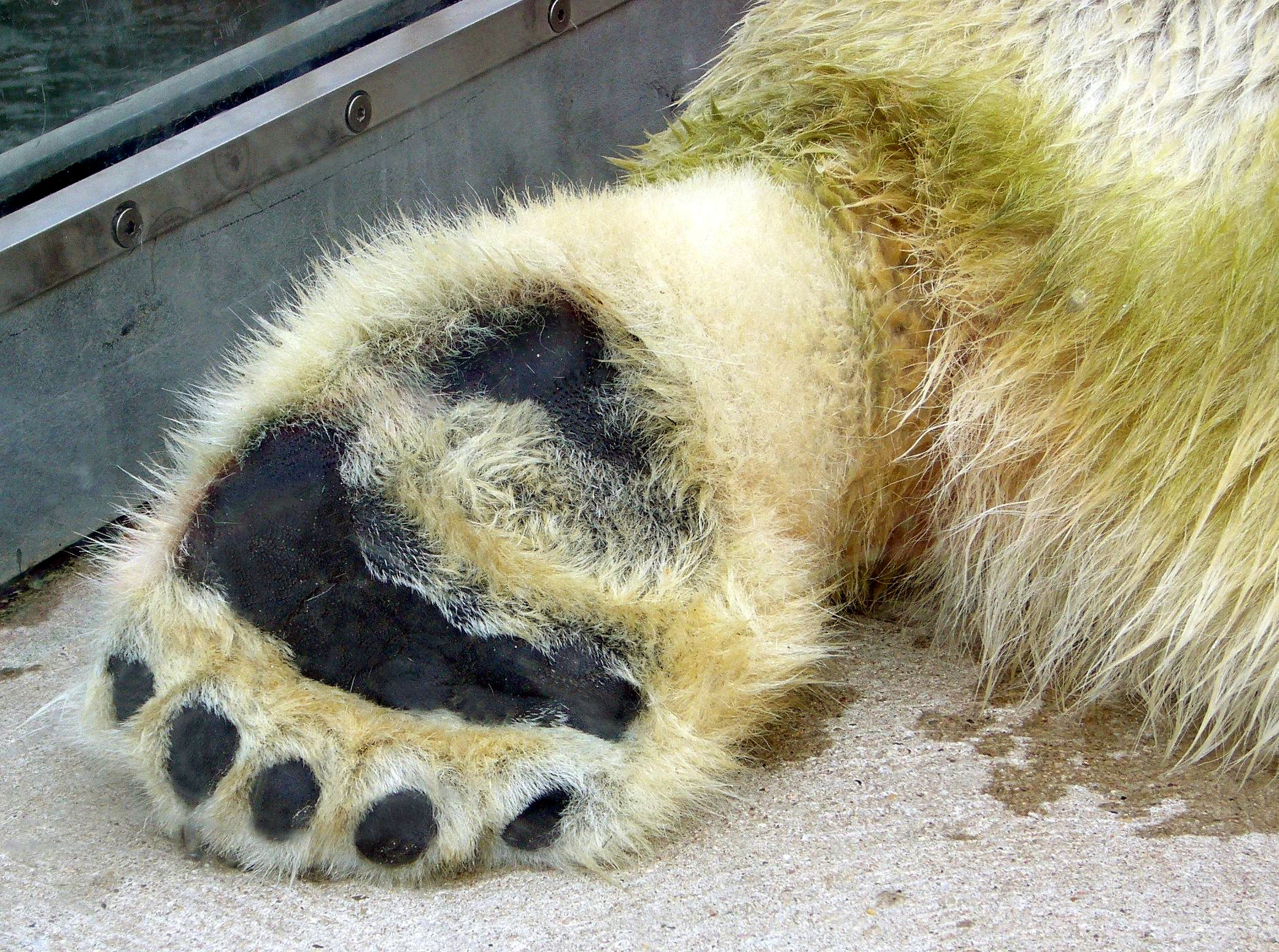 Polar Bear Paw Related Keywords & Suggestions - Polar Bear Paw ...