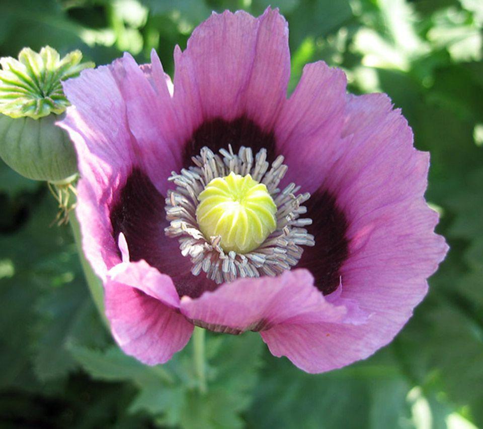 Opium Poppy Flowerflowerspoppypapaversomnuspinkpurpleopium