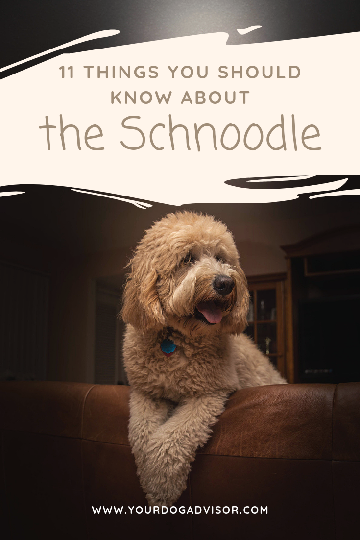 11 Things You Should Know About the Schnoodle in 2020