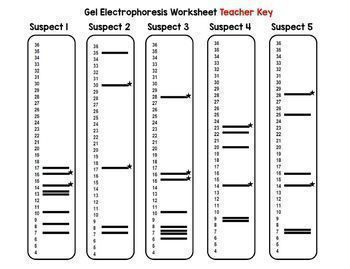 Dna Fingerprinting Simulated Crime Scene Activity Biology 18 19