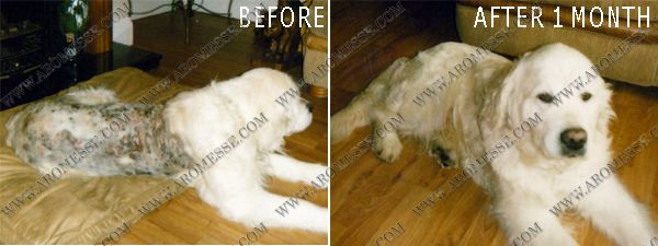 Photos Of Poor Hooli Were Given To Us By The Golden Retriever