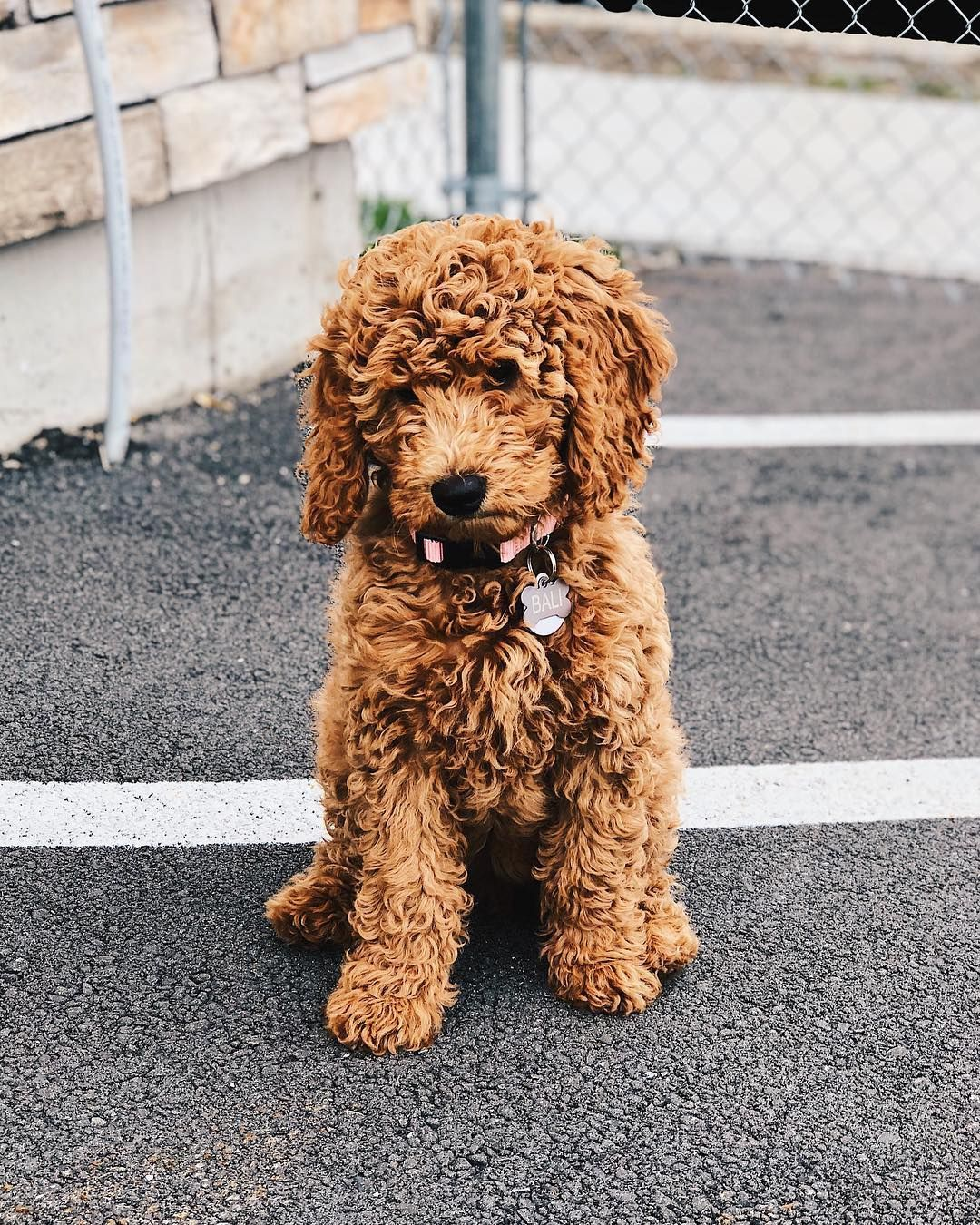 8 Things To Know About The Miniature Goldendoodle