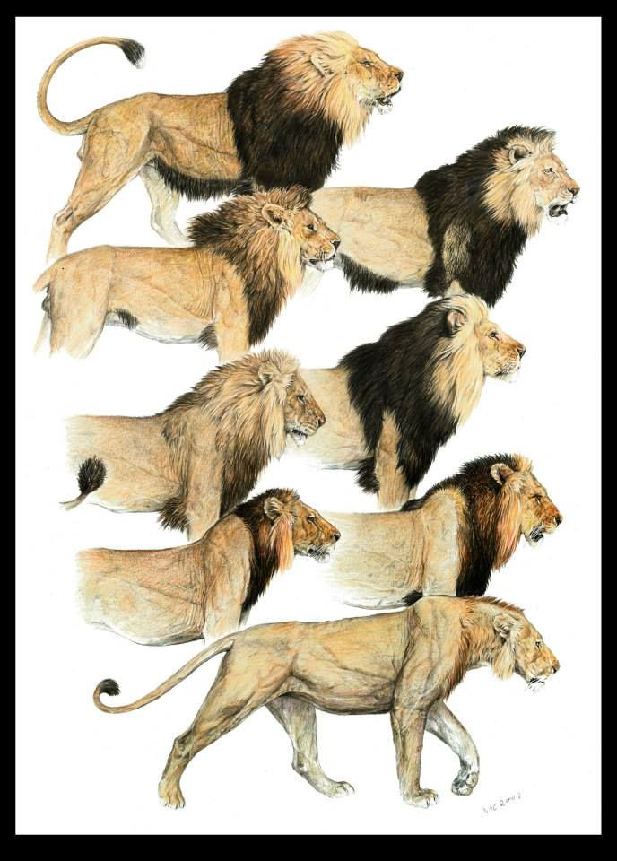 Mane Variations Of Male Lions Panthera Pinterest Lion Animals