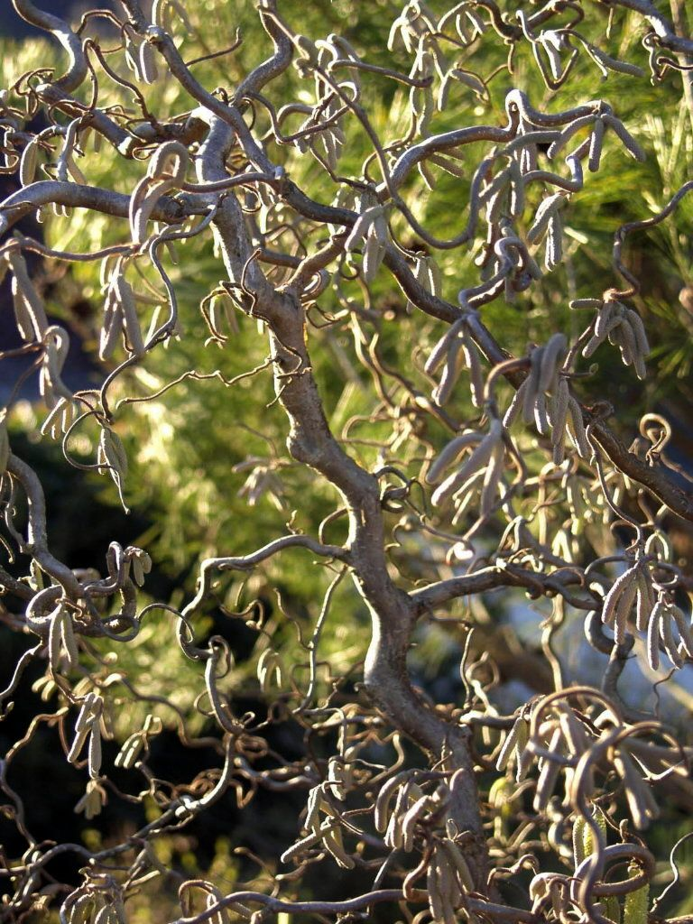 Harry lauder walking stick trees - The Contorted Hazelnut Tree Corylus Avellana Contorta Also Called Harry Lauder Walking Stick Or Corkscrew Hazel Boasts Branches That Twist In Every
