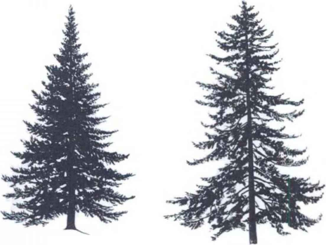 Spruce tree silhouette trees pinterest spruce tree tattoo spruce tree silhouette biocorpaavc Image collections