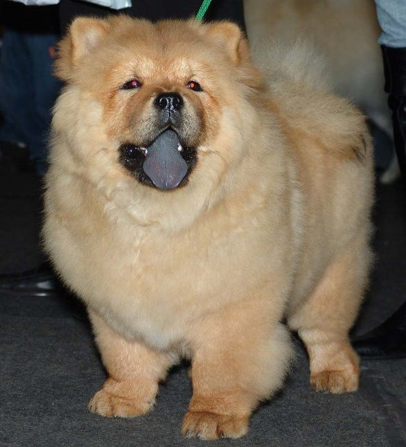 Cinnamon Chow Chow Chow Chinese Dog Boo The Dog