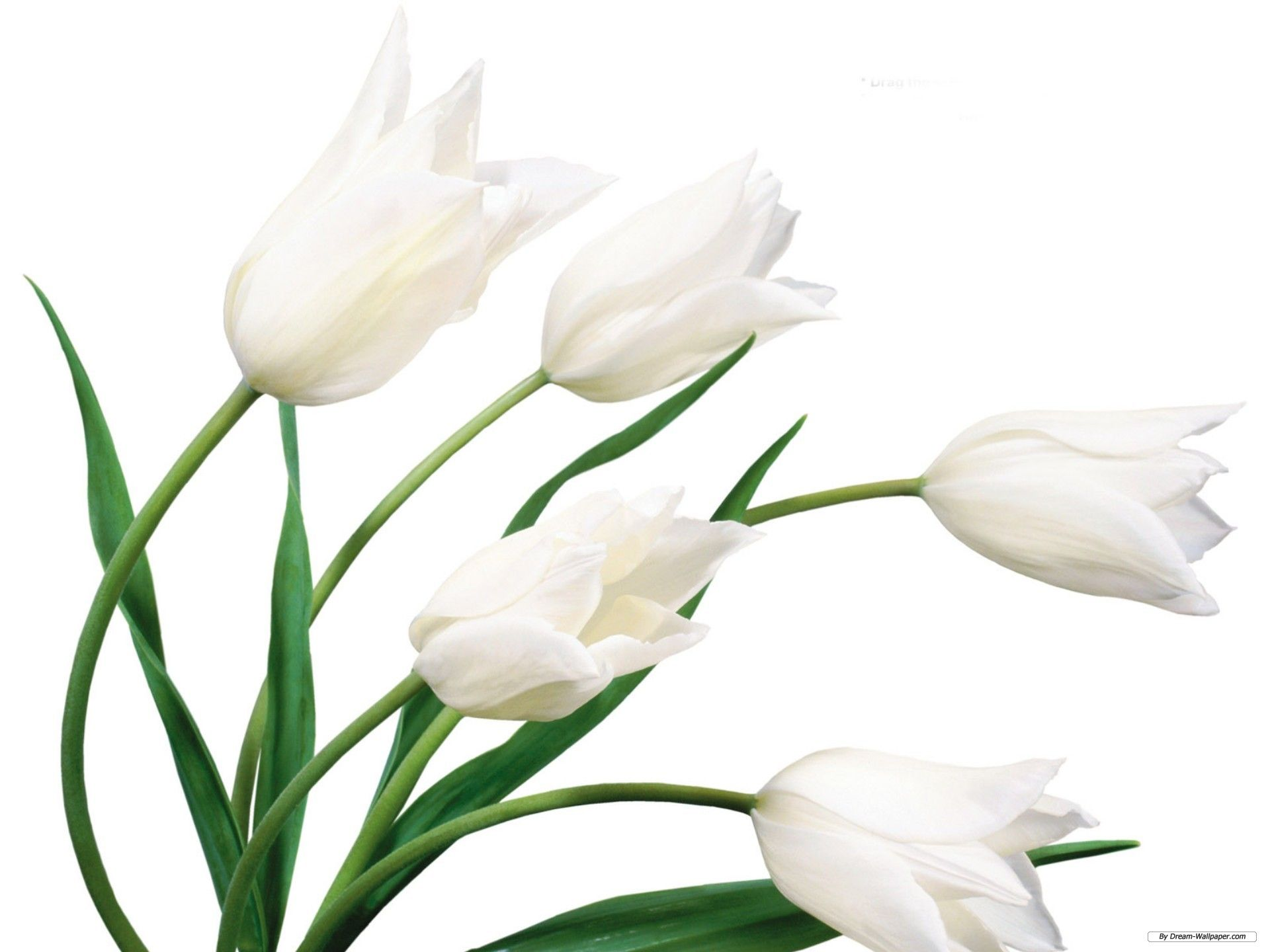 White lily wallpapers mobile with high definition resolution white lily wallpapers mobile with high definition resolution 1920x1440 px 17651 kb izmirmasajfo