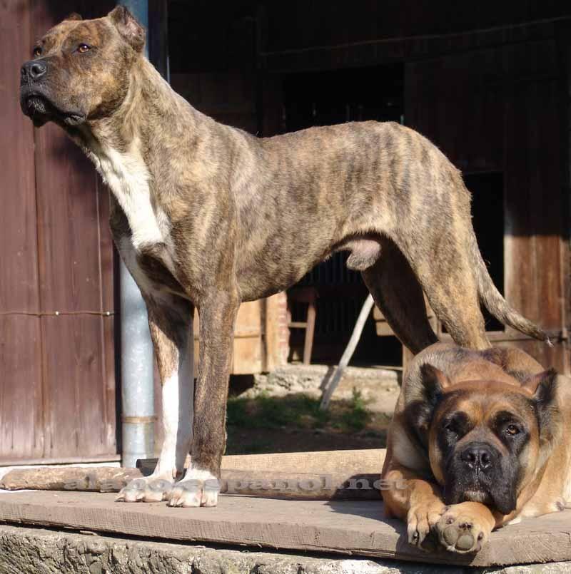 Alano Espanol Spanish Bull Dog Alano Espanol Dogs Bulldog