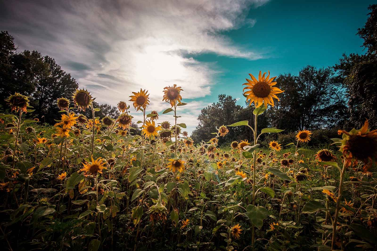 12 Fresh tips for exquisite flower photos Sunflower