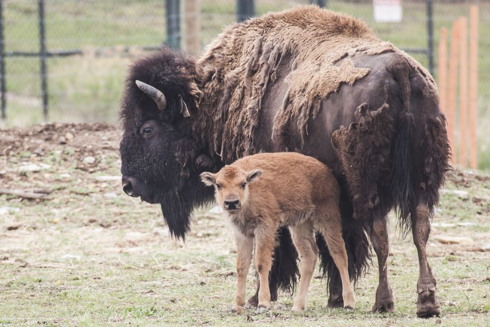 These Purebred Bison Are Roaming The Foothills Of Northern