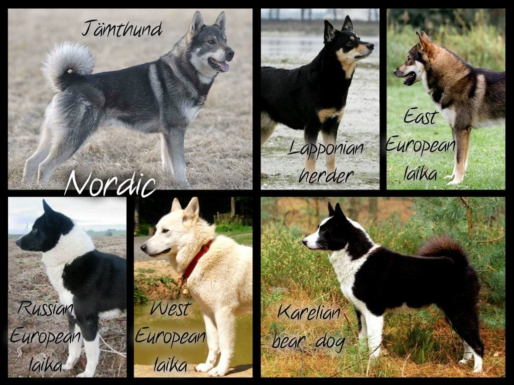 Nordic Breeds Even Though The Lapponian Herder Whose Original Name Is Lapinporokoira What An Awesome Name Is Not A Hunting Dog Spitz Dogs Snow Dogs Dogs