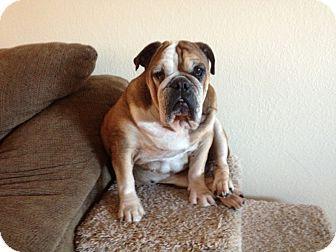 Gilbert Az English Bulldog Meet Glady A Dog For Adoption