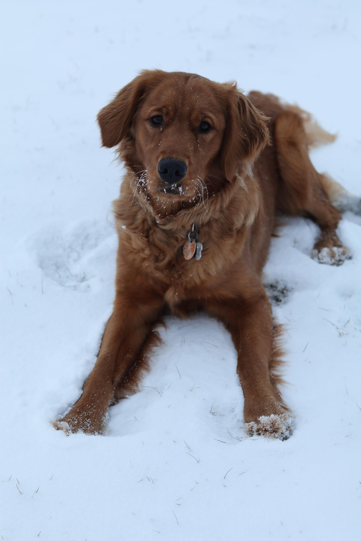 Golden Retriever Dark Red Golden Retriever Red Dark Golden
