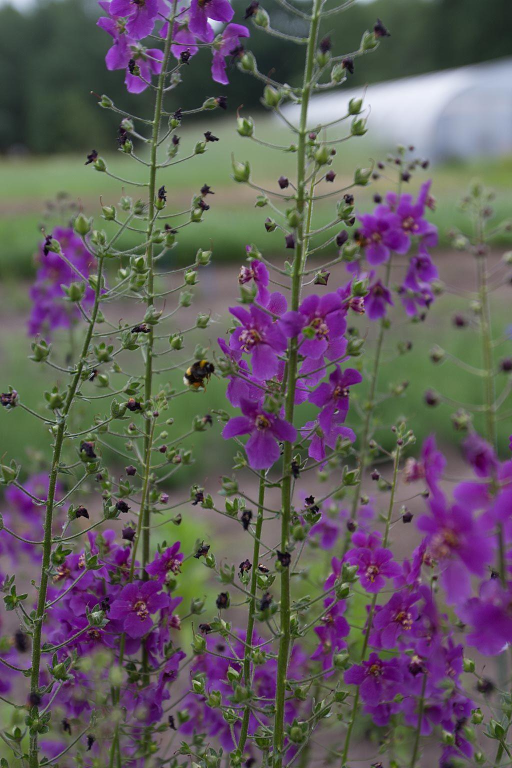 Violkungsljus 'violetta' (Verbascum phoeniceum) Ljuvligt violkungsljus som blommar med intensivt mörka purpurvioletta blommor i långa, vackra spiror.  - Så direkt på växtplatsen.  - Blommar maj-sept. - Flerårig. - Höjd ca 90 cm.