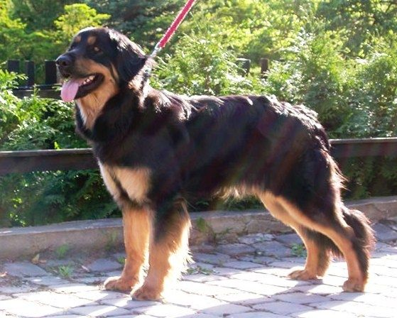 Hovawart - The Hovawart looks like a cross of a Rottweiler ...
