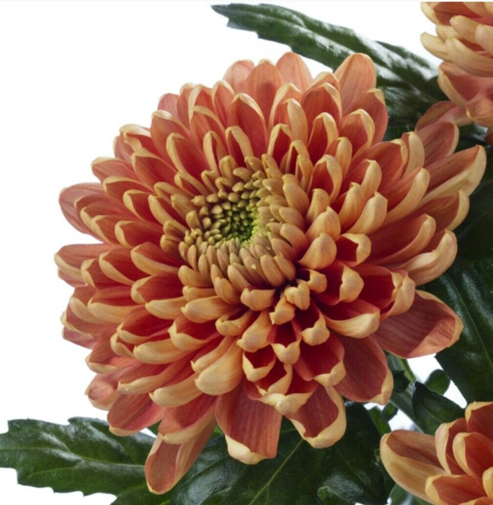 Chrysanthemum Rossano Dark Orange Chrysanthemum Flower Garden Flowers