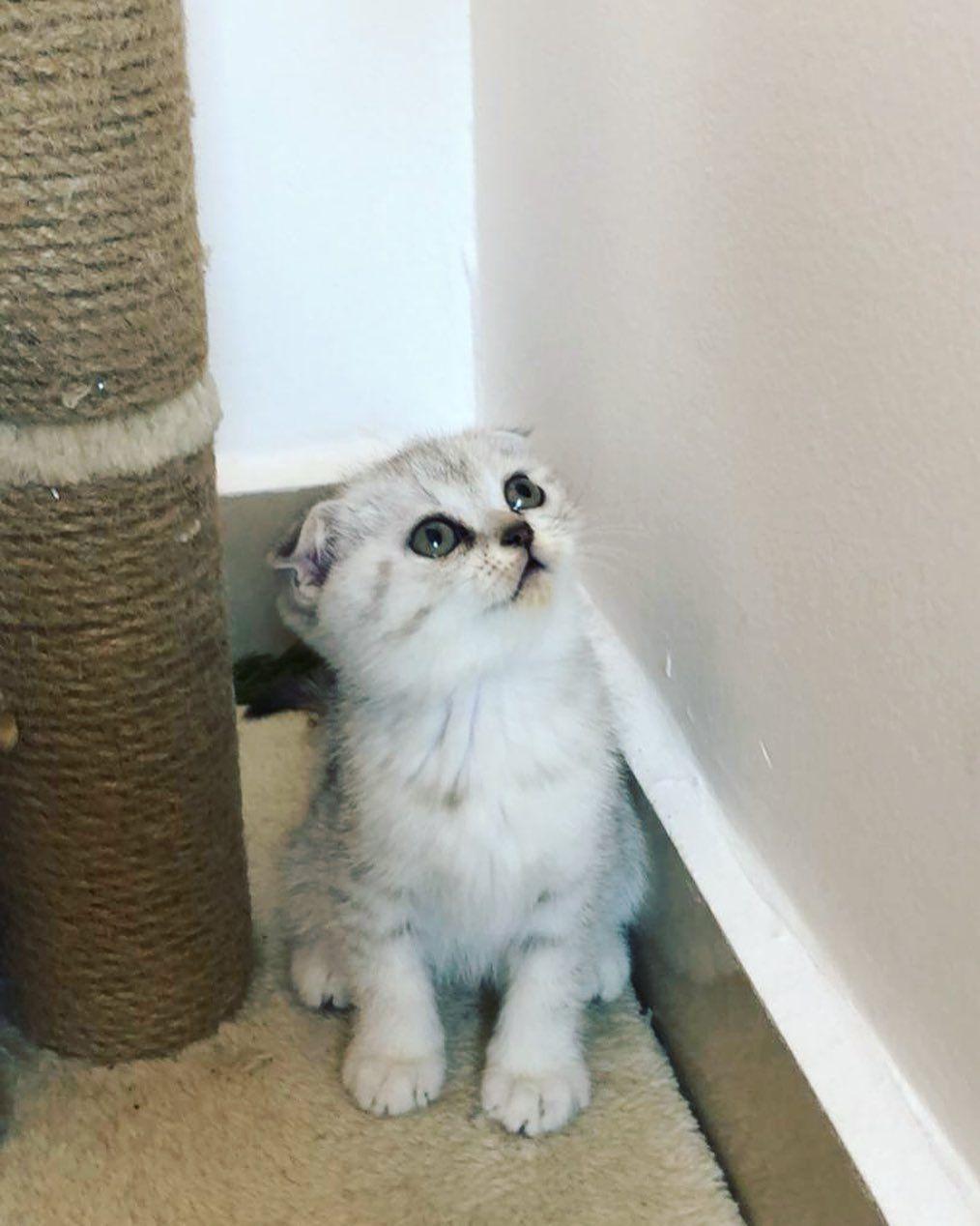 ماشاءالله تبارك الله نثيه بيور سكوتش فولد شورت هير من ام وآب بيور وارد من إسكتلندا F Animals Cats