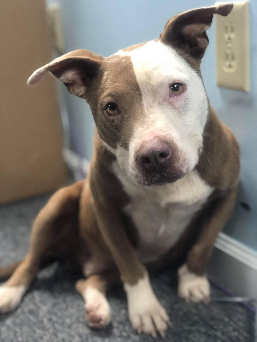 Adopt Pike On Pitbull Terrier Bull Terrier Mix Terrier Mix Dogs