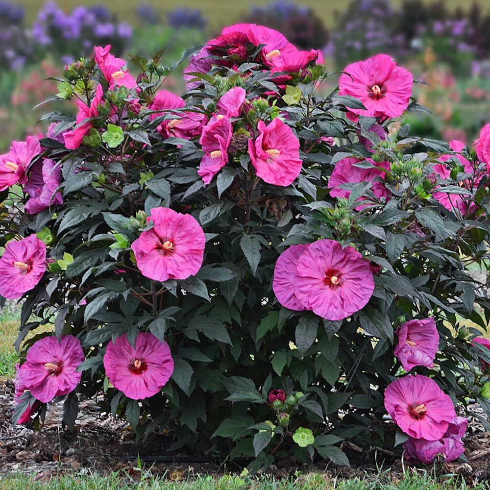Hibiscus Summerific Berry Awesome In 2020 Hardy Hibiscus Part Shade Flowers Hibiscus Plant