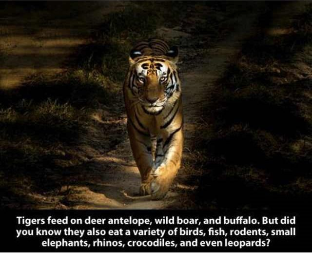 They Have A Diverse Diet That Includes Many Different Animals In 2020 Tiger Facts Tiger Photography Wild Tiger