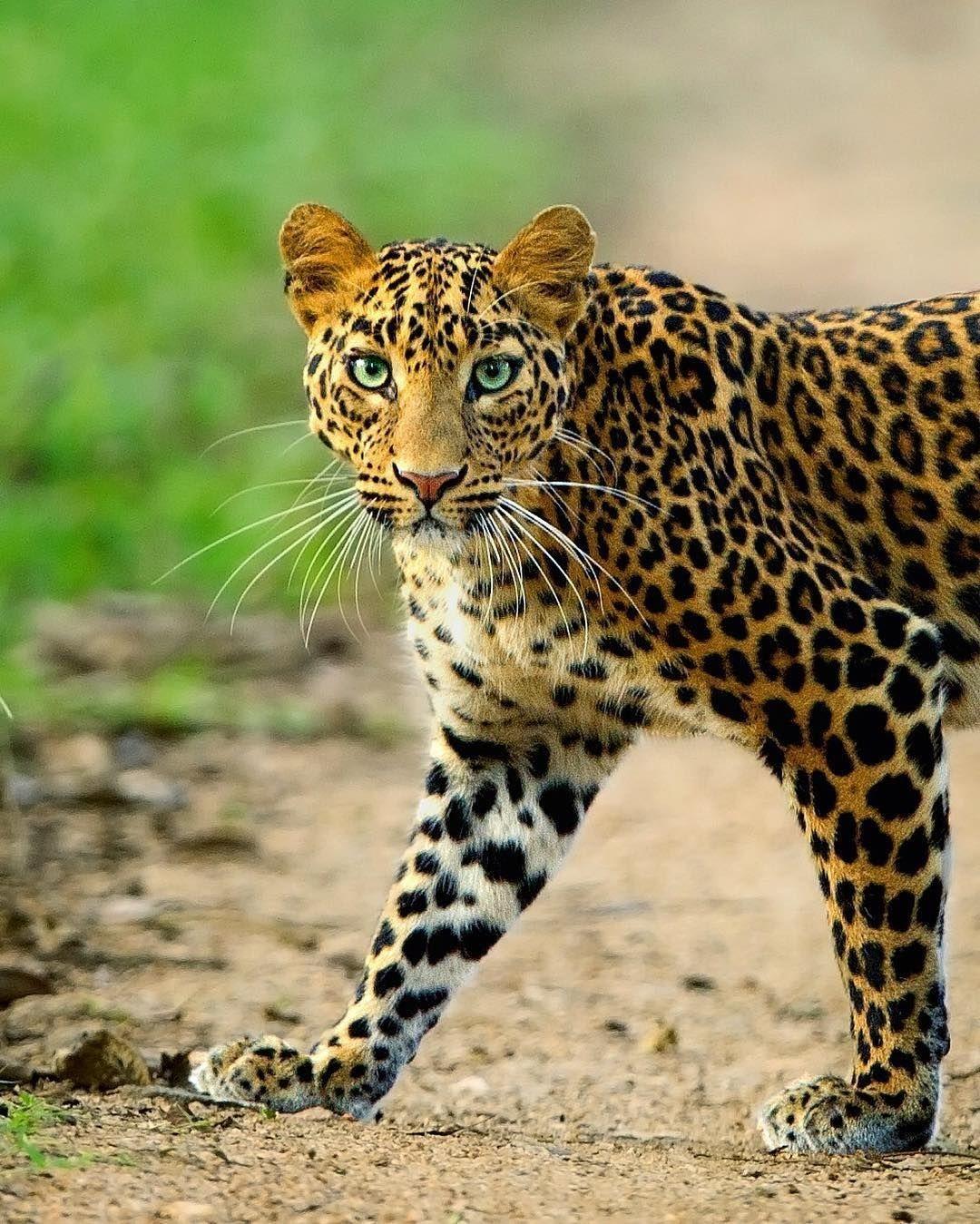 Leopard African Leopard Leopard Eyes Big Cats
