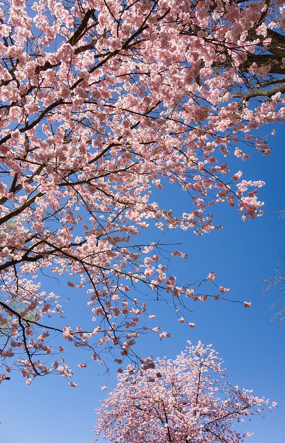 Pink Trees In Full Bloom In Spring By Matthias Hauser Pink Trees Spring Scenery Spring Art