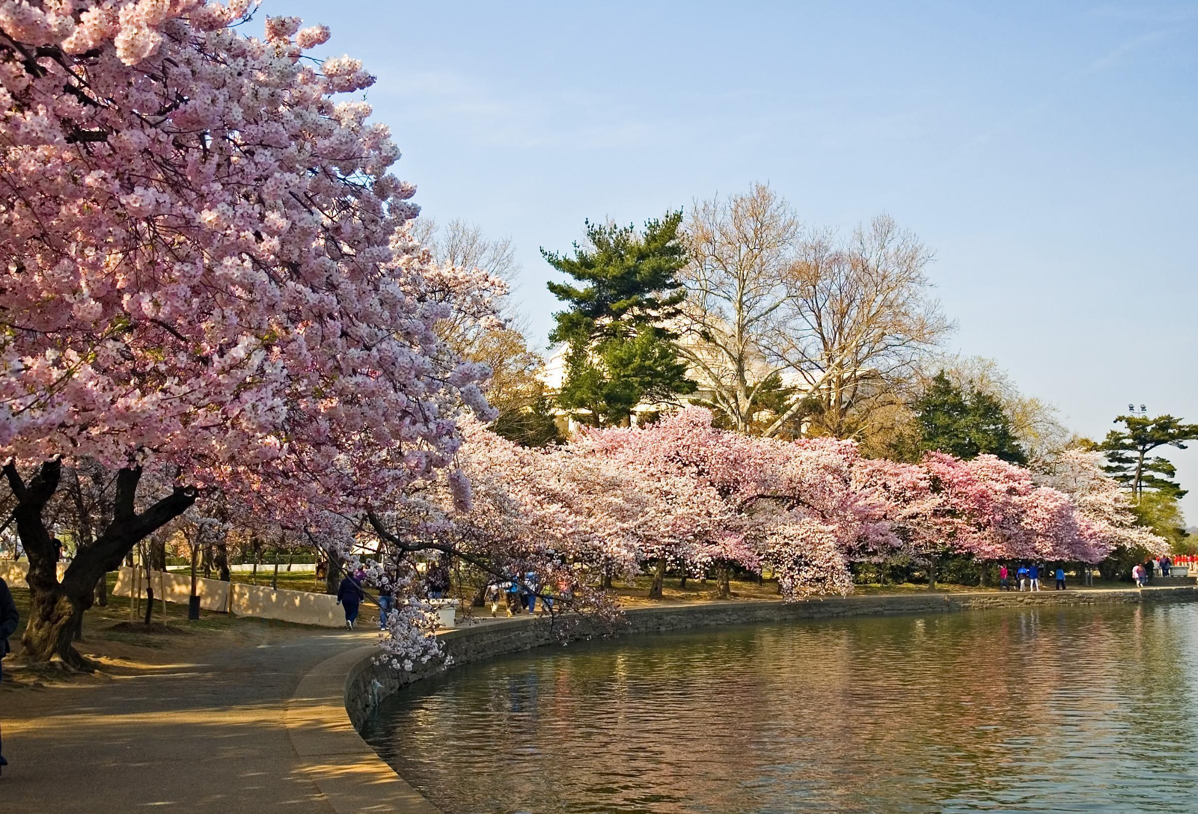 Maison Cherry Blossom Festival Cherry Blossom Japan Cherry Blossom
