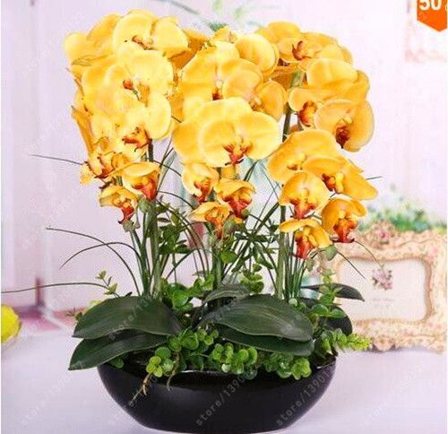 100PCS orchid-seed FLOWER seeds for home garden Phalaenopsis orchid seeds for